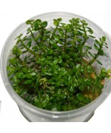 1 Dose Ammania sp. Bonsai in vitro, Wasserpflanzen, In Vitro