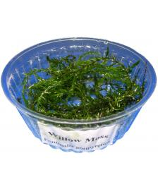1 Portion Willow-moss, Fontinalis antipyretica