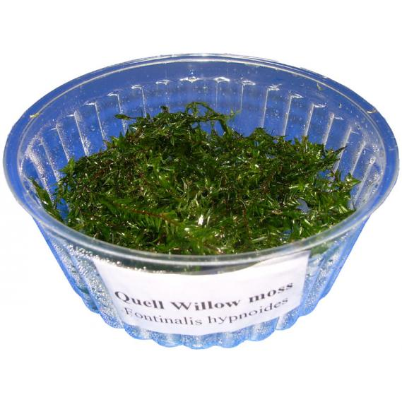 1 Portion Quell-Willow-moss, Fontinalis hypnoides, Schlafmoos
